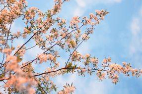 belarus-bloom-blossom-814760