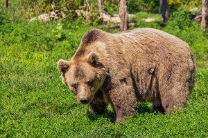 animal-bear-beast-46175